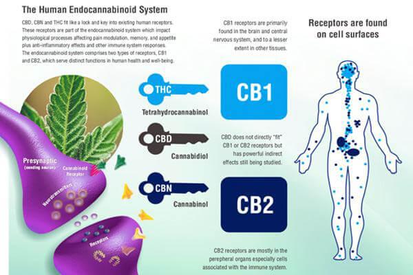 endocannabinoid system chart